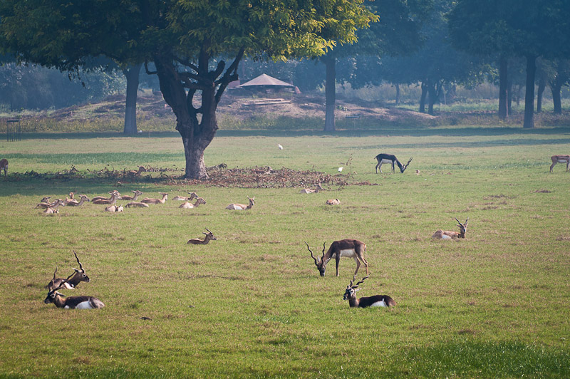 Black bucks in Sikandra