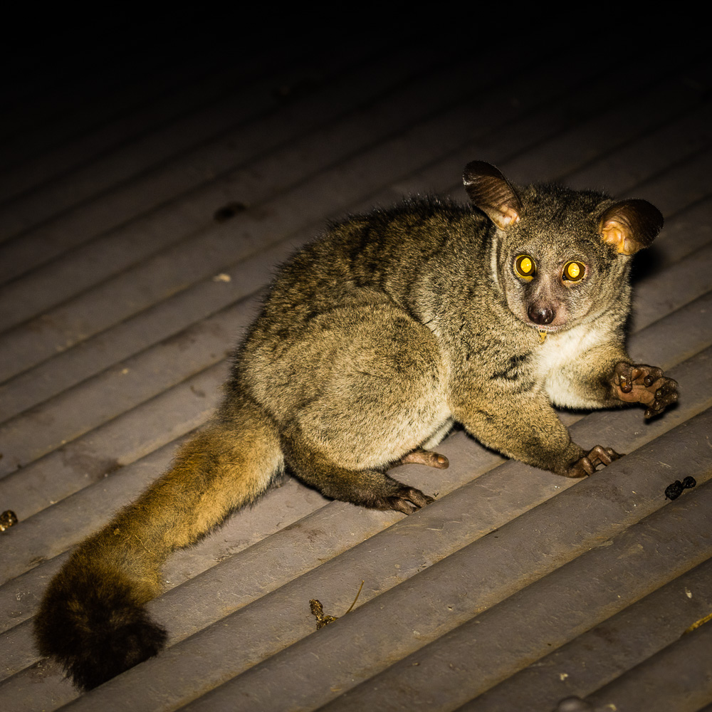 Thick-tailed Bush Baby of Dikstaartgalago