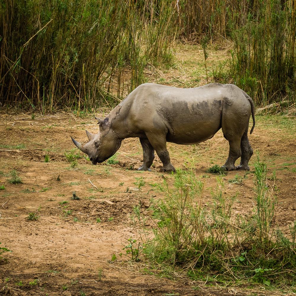 Zwarte of puntlip-neushoorn